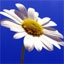 аватары: Белая ромашка