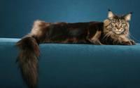 аватары: Злой кот с пышным хвостом