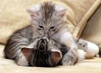 аватары: поцелуй двyх котят