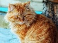 аватары: рыжая пушистая кошка у дерева