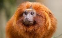 аватары: Рыжая обезьянка