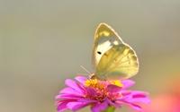 аватары: На розовом цветении бабочка нежного цвета