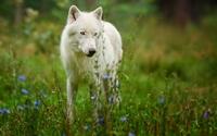 аватары: Белый волк на поляне с цветочками