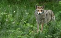 аватары: Волк в травах зеленых