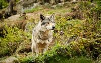аватары: Волк в дикой природе