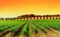 аватары: Ряды виноградника