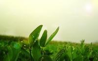 аватары: Зеленые листы клевера