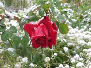 обои Rose on snow фото
