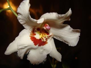 обои Фотография орхидеи фото