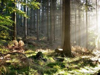 обои Луч света среди деревьев фото