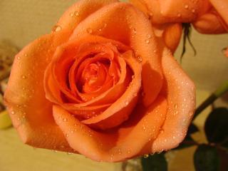обои Капельки воды на лепестках розы фото