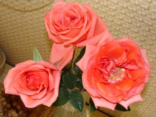 обои Красивые розы фото