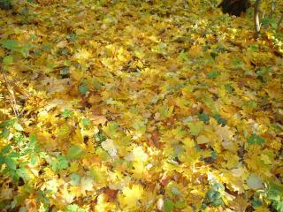 обои Ковёр кленовых листьев фото