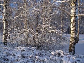 обои Берёзы и кусты в снегу фото