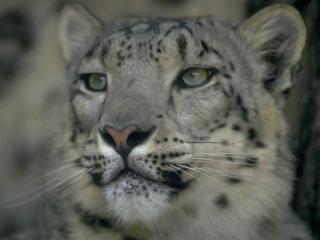 обои Серый леопард фото