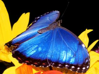 обои Blue Morpho Butterfly фото