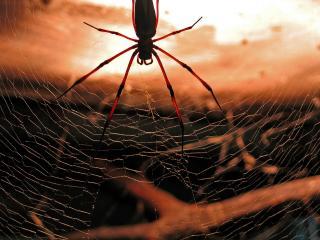 обои Паук на паутине фото
