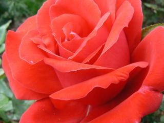 обои Ярко-красная роза фото
