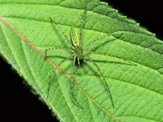 обои Green Lynx Spider фото