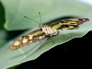 обои Malachite Butterfly фото
