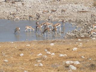 обои Антилопы на водопое фото