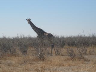 обои Жираф смотрит на вас фото
