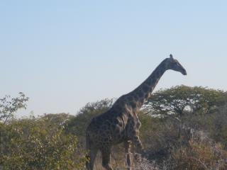 обои Жираф к профиль фото
