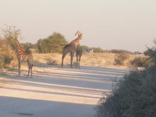 обои Жирафья парочка фото