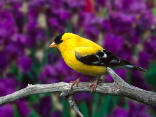 обои Male American Goldfinch фото