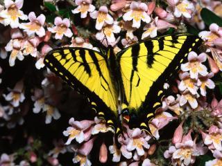 обои Tiger Swallowtail фото
