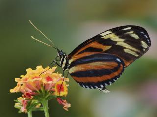 обои Тигровая бабочка фото