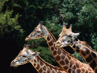 обои Троица жирафов фото
