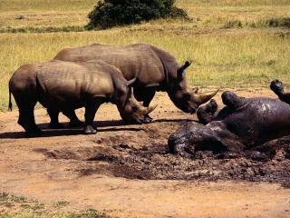 обои Носороги у грязи фото
