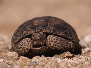 обои Черепаха на камнях фото
