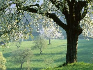обои Цветущее вишневое дерево, весной в поле фото