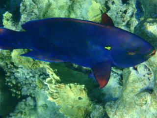 обои Синяя рыба в море фото
