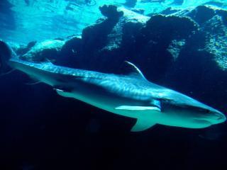 обои Грозная акула фото