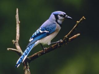 обои Красивая птичка с голубым оперением фото