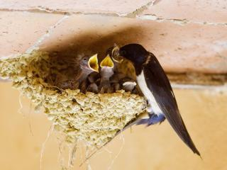 обои Ласточка кормит птенцов фото