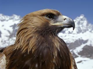 обои Гордый орёл позирует для вас фото