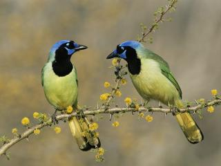 обои Пара синеголовых птиц фото
