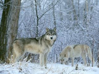 обои Белый и серый волки зимним утром фото