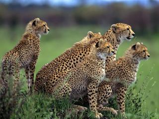 обои Гепарды высмытривают добычу фото