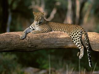обои Леопард отдыхает на засохшем дереве фото