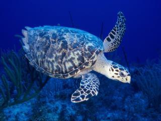 обои Черепаха, плывущая по синему дну фото