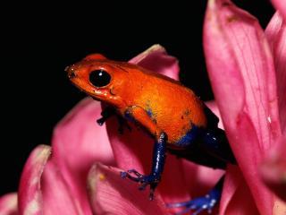 обои Красно - синяя лягушка фото