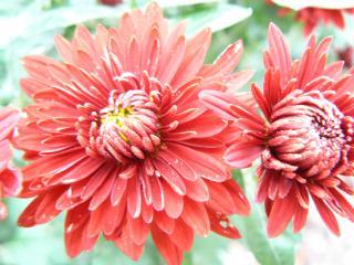 обои Два красных цветка фото