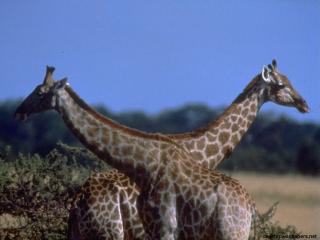 обои Африка жирафы фото