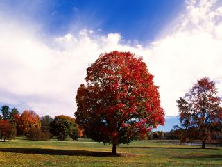обои Красное кленовое, осеннее дерево в парке фото