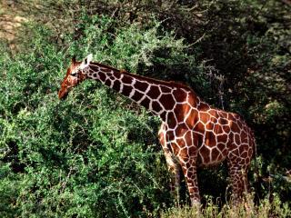 обои Уставший жираф фото